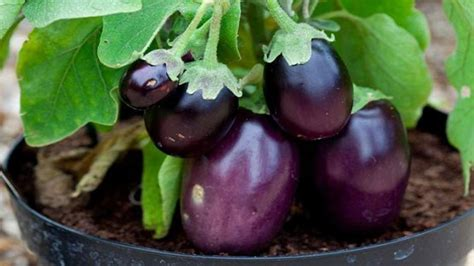 How To Grow Aubergines / Rhs Gardening