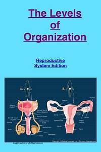 The Levels Of Organization Of The Reproductive System By