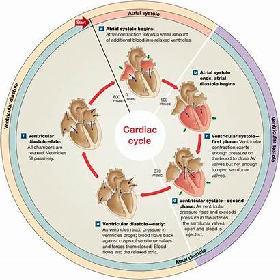 Contraction Relaxation Cycle Cardiac Heartbeat During Events