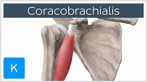 Coracobrachialis Muscle - Origin, Insertion & Innervation ...