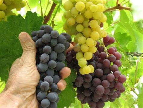 buah anggur jualbenihmurah