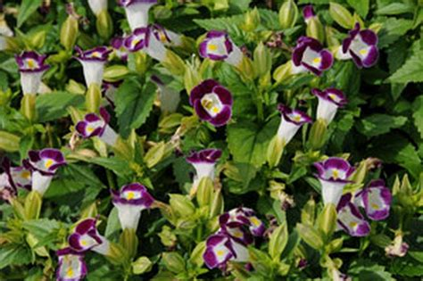 annuals for shade shade loving flowers gardening guide