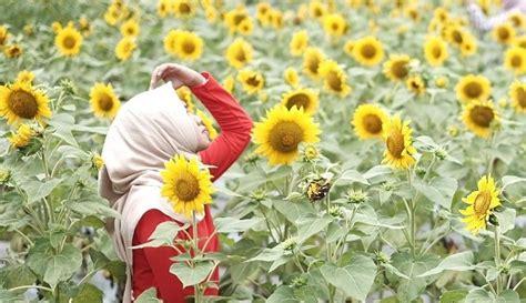 taman dewari spot selfie  hamparan bunga matahari