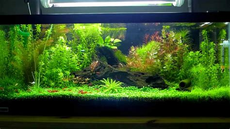Aquascape Shrimp Tank by Nature Aquarium Aquascape S 20g Breeder Shrimp
