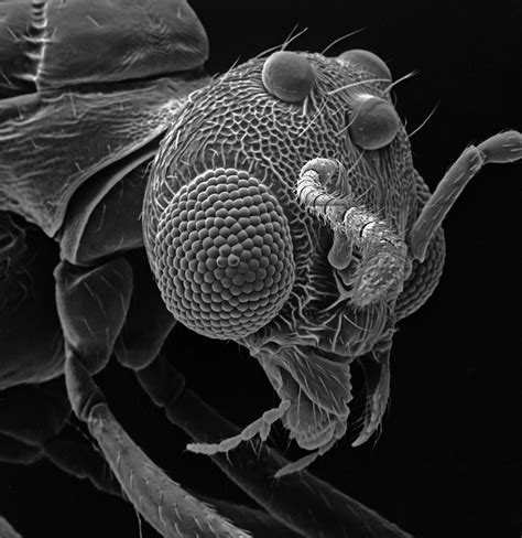 david  phillips photographs insects   electron