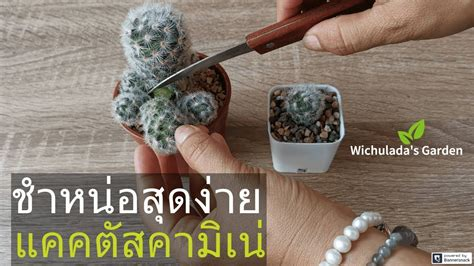 How To Propagate Cactus Offsets by Cutting-Easy 🌵 วิธีชำ ...