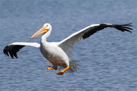 le de poche pelican alimentation des p 233 licans que mangent les p 233 licans