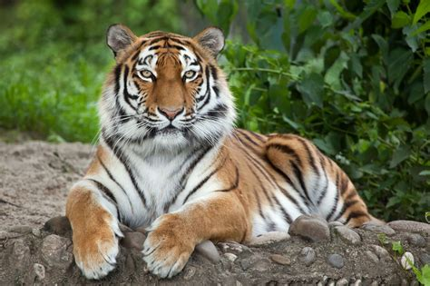 Survivors The Cold Interesting Facts About Siberian Tigers
