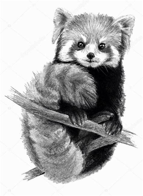 roter panda isoliert auf weissem hintergrund bleistift