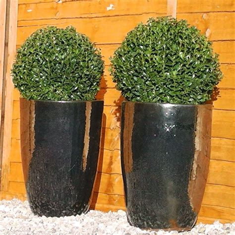 Box Topiary Ball  Buxus Sempervirens Topiary Ball Buy