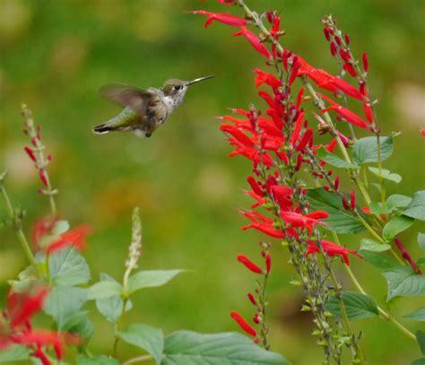 hummingbirds wintering in pennsylvania