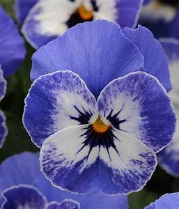 Viola Seeds - 26 Violas - Annual Flower Seeds - S.G.S.