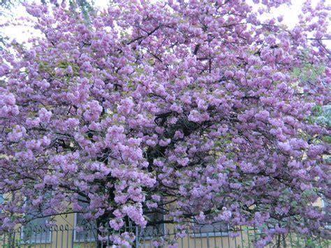 alberi con fiori rosa r prunus serrulata kanzan tra gli alberi da fiori rosa a