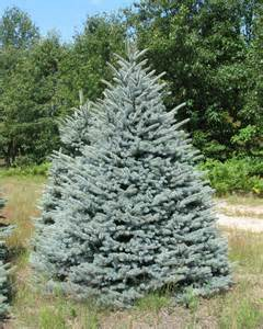 Fraser Fir Christmas Trees Michigan by Wholesale Christmas Tree Photos Holiday Trees Inc