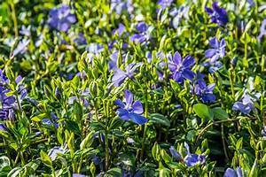 Vinca Minor Giftig : buntbl ttriges immergr n variegata vinca minor variegata ~ Lizthompson.info Haus und Dekorationen