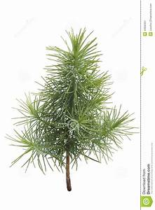 Pine Tree Seedling Stock Photo - Image: 44632351