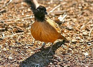 Sonoran Connection: Masked Bobwhite Quail On The Brink