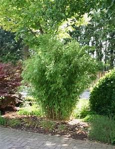 Sichtschutz Schnell Wachsend : bambus pflanzenshop startseite kaufen ~ Markanthonyermac.com Haus und Dekorationen