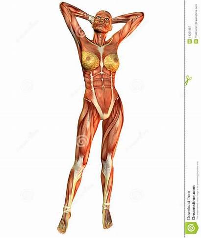 Spier Vrouw Voorzijde Muscolo Anteriore Dalla Parte