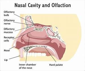 A Study Of The Functions And Anatomy Of The Human Nasal Cavity