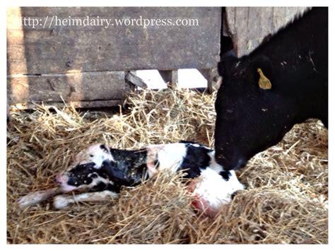 Calf Care Part 1 Why Do Dairy Farmers Separate Calves