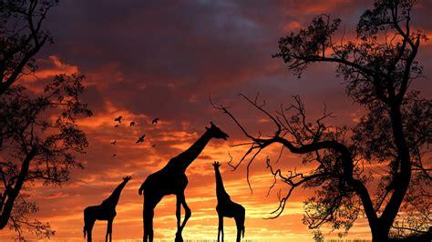 Free Giraffe Wallpapers Download Pixelstalknet