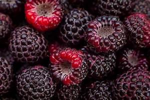 Cumberland Black Raspberry Bushes For Sale
