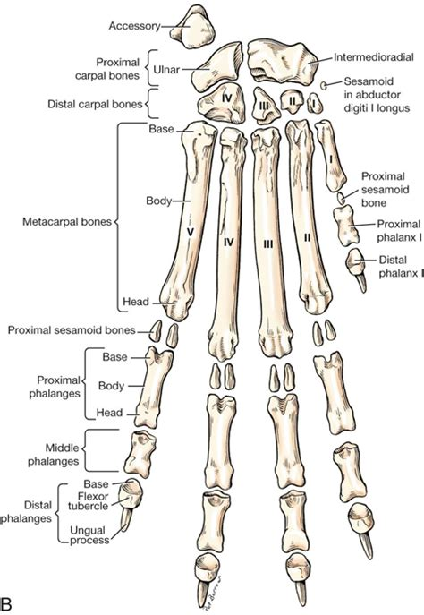 canine anatomy veterian key