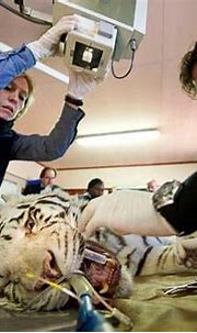 Top 16 White Tiger Facts - Diet, Habitat, Genetics & More ...