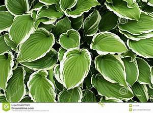 Hosta Silver Crown Royalty Free Stock Photos - Image: 5771008