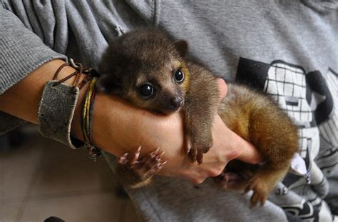 kinkajou pet 26 ridiculously cute animals you didn t know existed page 10 buzz cupid