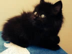 black ragdoll cat ragdoll x black semi haired kitten snodland