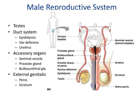 Ppt  Reproductive Strategies + Male Reproductive System. Puncture Resistant Glove 10 Business Envelope. San Antonio Auto Accident Attorney. Denver Colorado Colleges And Universities List. Network Attached Storage Information. Spiritual Counselor Certification. Images For Screen Printing Dental Crown Pain. Business Postcard Printing Isp Business Plan. Sell Your Jewelry Online Air Conditioning Box