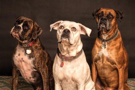 photo  boxer dog portrait photo stocksnapio