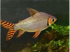 Flagtail – Semaprochilodus Insignis Tropical Fish Site