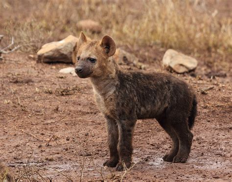 Animal Rescue Wallpaper - baby hyena cub hd wallpaper and background