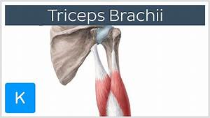 Triceps Brachii Muscle - Origin  Insertion  U0026 Innervation - Human Anatomy