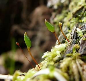Buxbaumia