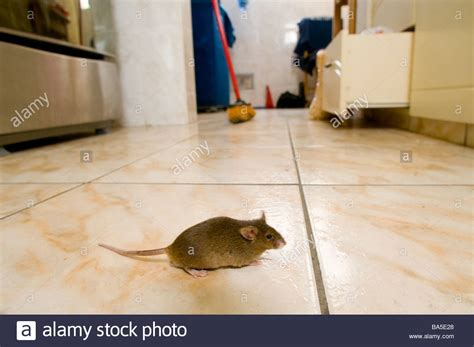 Mouse In Kitchen What To Do mus musculus domesticus stock photos mus musculus