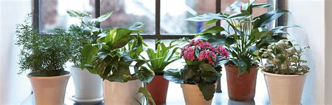 zimmerpflanzen zurueckschneiden vermehren das