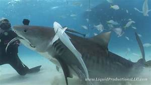 Tiger Sharks of Tiger Beach | Doovi