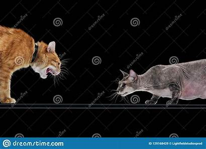Cat Hissing Angry Ginger Hairless Sphynx