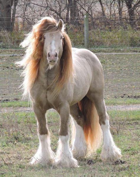 horse gypsy vanner friesian clydesdale horses arabian haflinger teke appaloosa akhal draft andalusian rare donkey bay mule cleveland paint stallion