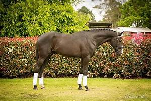 1000+ images about Sport Horse Stallions on Pinterest ...