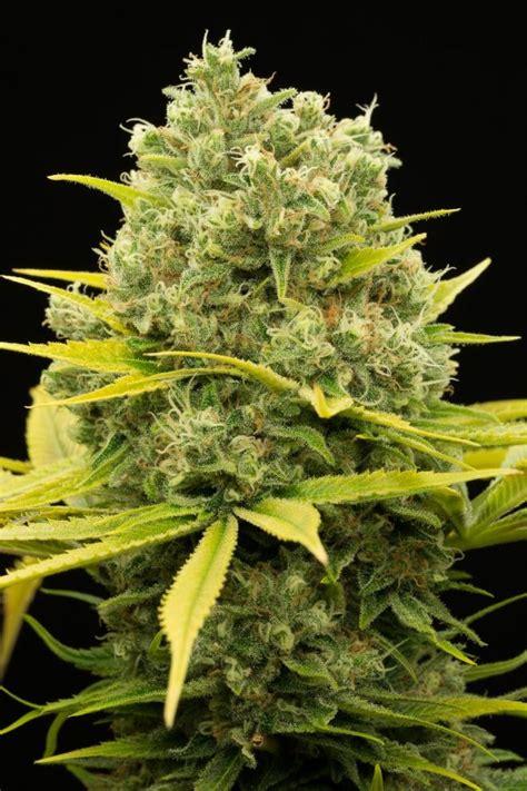 Buy Dinamed CBD Plus Feminised Seeds from Dinafem Seeds at ...