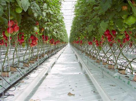 ingredient cuisine tomate la culture hors sol dossier