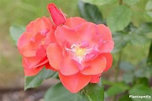 Rosen Schneiden Wann : rosen schneiden zeitpunkt rosen schneiden aber richtig rosen schneiden wie sie am besten ~ Eleganceandgraceweddings.com Haus und Dekorationen