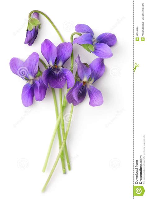 bunch  violets stock photo image