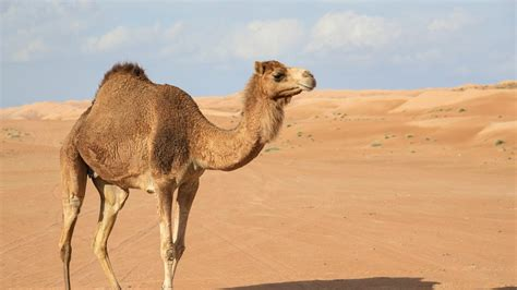 Camel Images Camel Animal Pictures