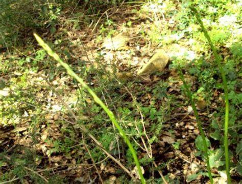 cuisiner des asperges sauvages les asperges sauvages paperblog